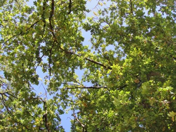 Park oaks